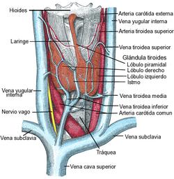 http://abante.eus/wp-content/uploads/2012/08/250px-Thyroid2-es.png